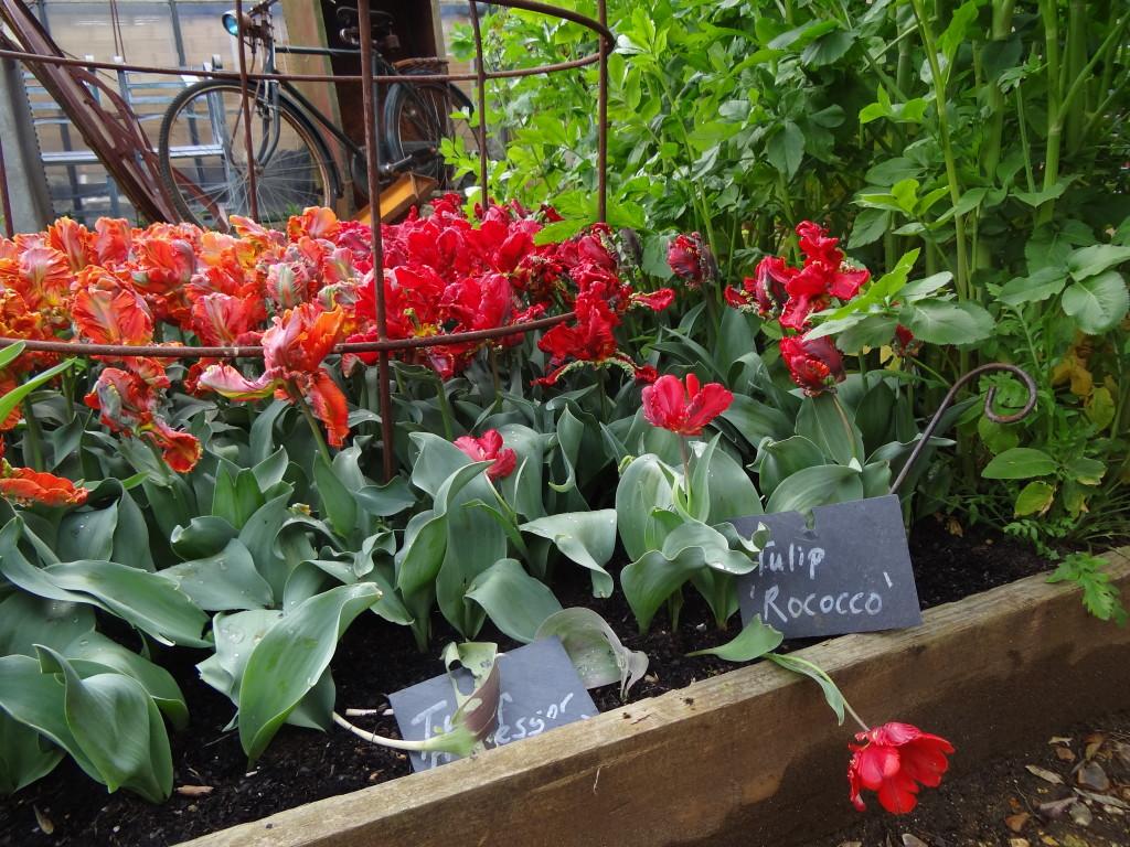 Tulips at Petersham Nurseries